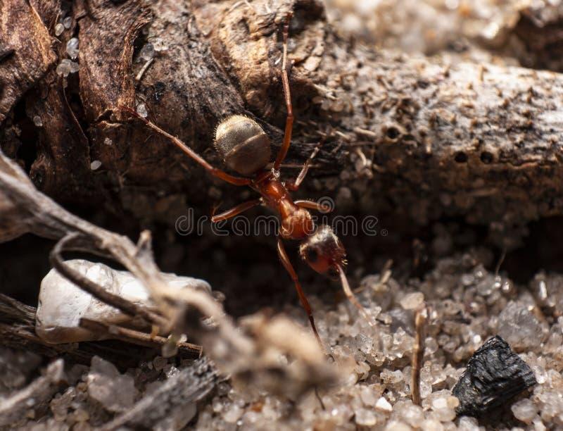 Rote Ameise ist sehr klein stockbild