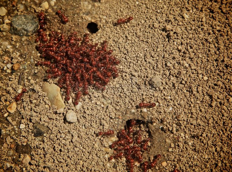 Rote Ameisen lizenzfreies stockbild