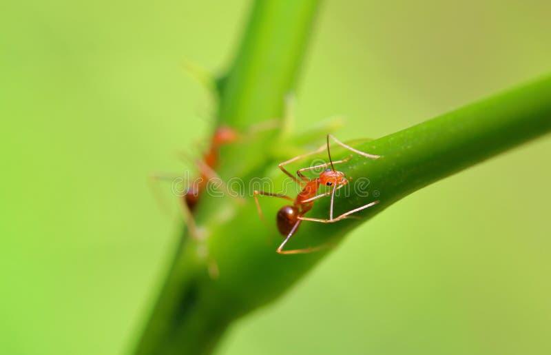 Rote Ameisen in der Natur lizenzfreies stockfoto