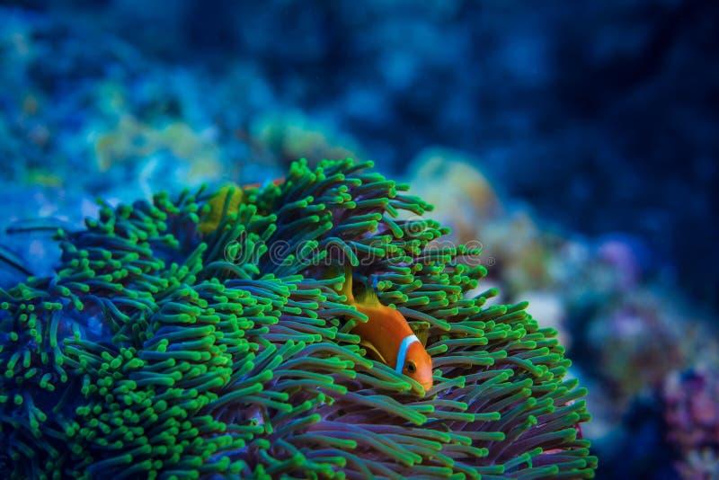 Rote Anemone Fische Unterwasser im blauen Wasser stockfoto