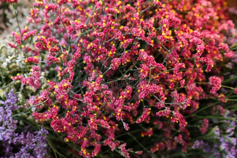 Rote Anlage Limonium sinensis Porzellans, Blumenhintergrund lizenzfreies stockfoto