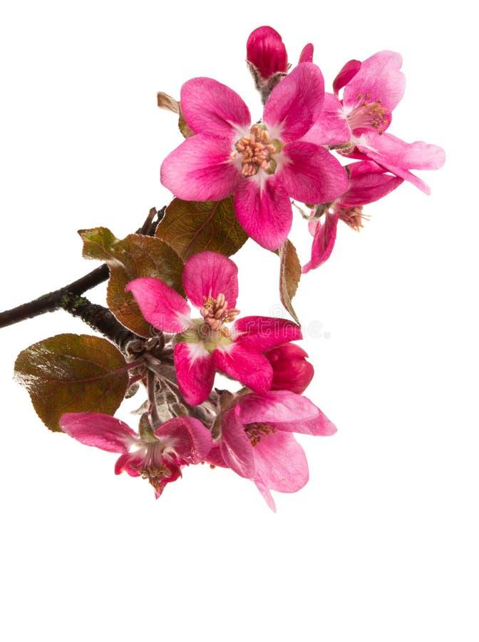 Rote Apfelblume lokalisierte lizenzfreie stockfotografie