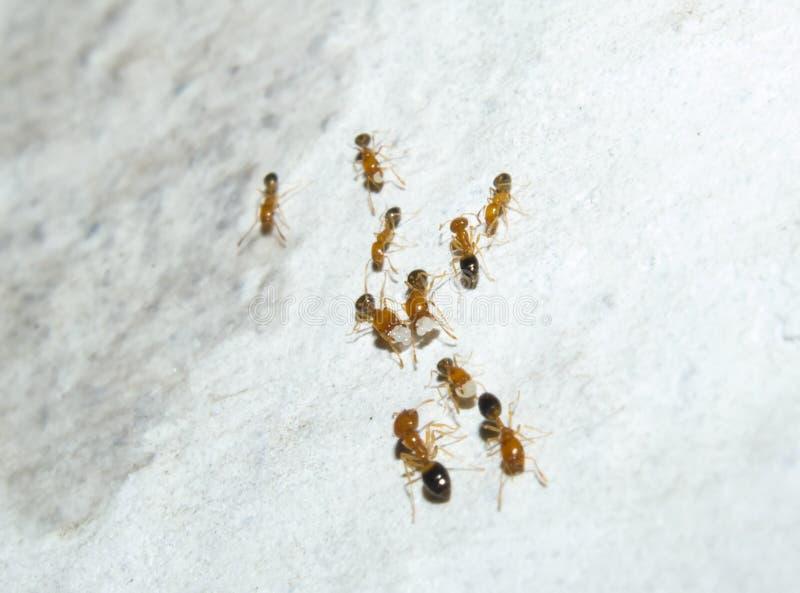 Rote Arbeitskraft-Ameisen mit Eiern und Puppen auf der Wand lizenzfreie stockfotos
