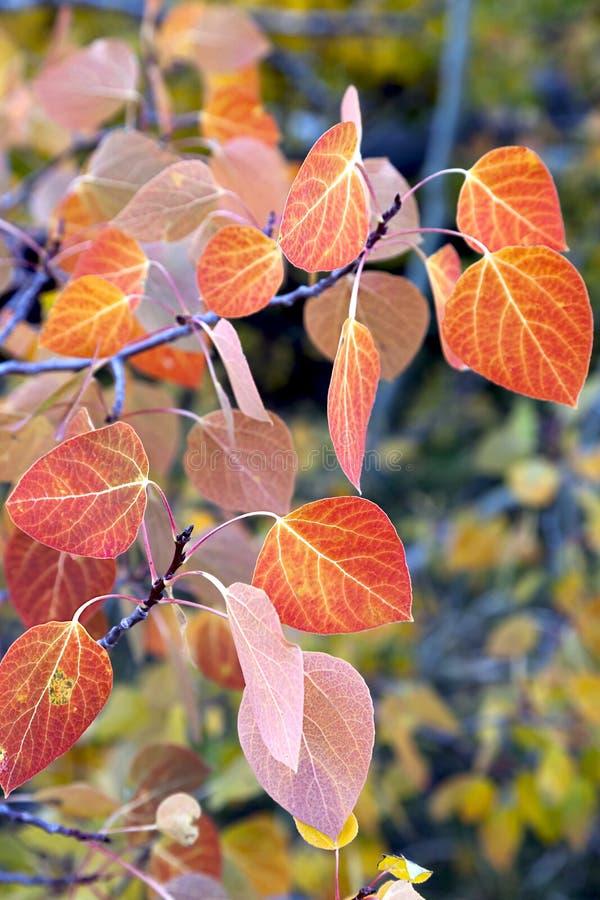 Rote Aspen-Blätter stockfotos