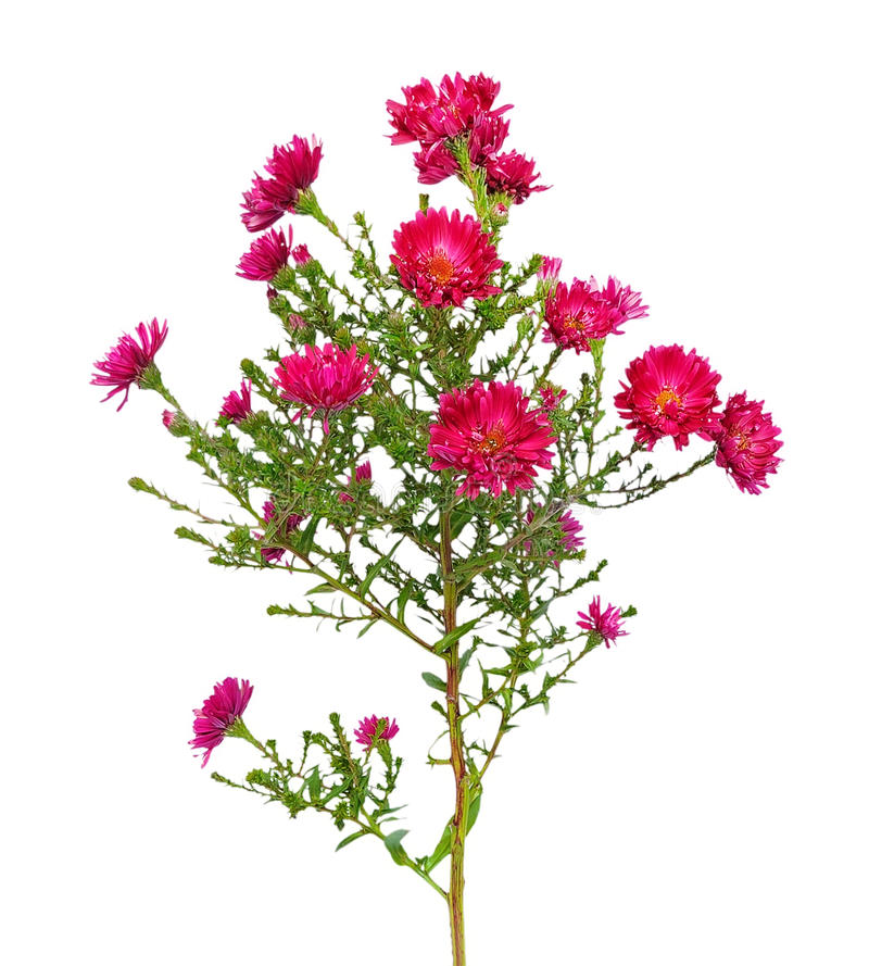 Rote Aster amellus Blume stockfoto