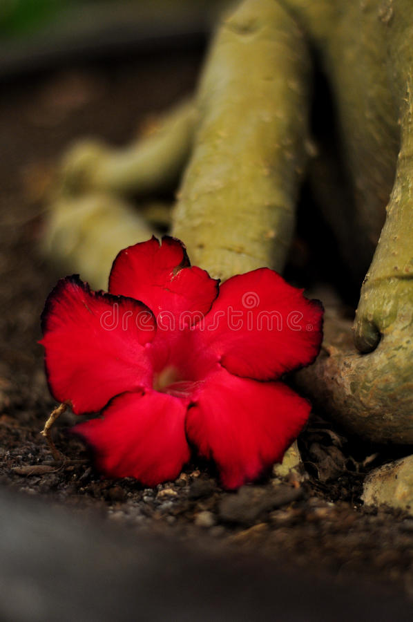 Download Rote Azalee stockfoto. Bild von wüste, kabel, floral - 90236560