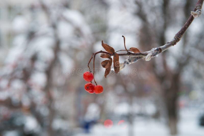 Rote Bündel der Eberesche umfasst mit dem ersten Schnee Weiße Schneeflocken auf einem blauen Hintergrund Winterlandschaft mit sch lizenzfreie stockfotos