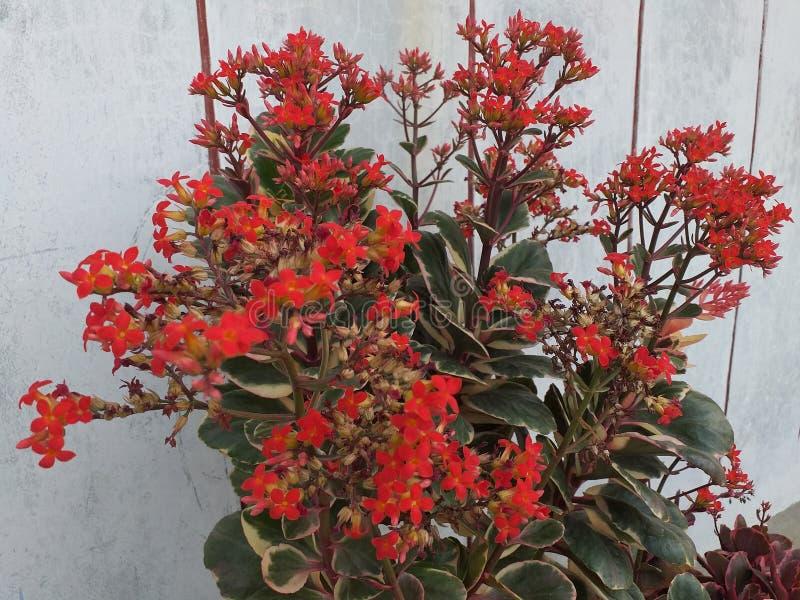 Rote Büsche werden in den schönen Töpfen gepflanzt und blühen jede Jahreszeit stockbild
