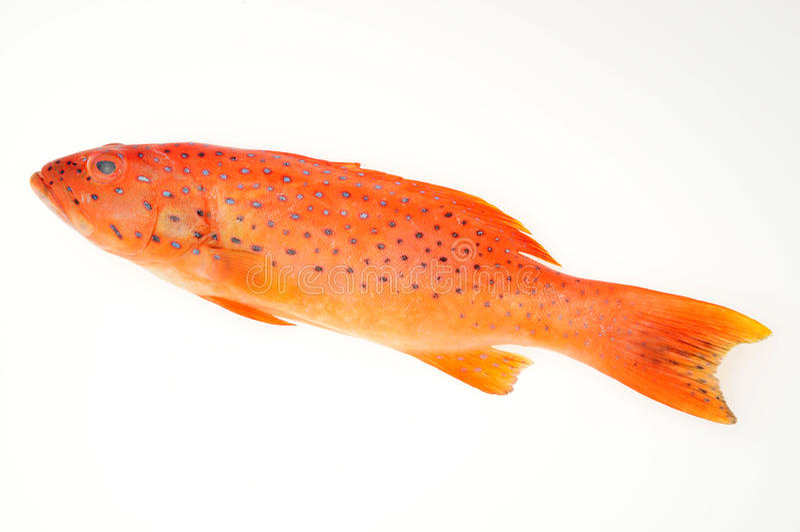Rote Barsch-Fische lizenzfreies stockbild