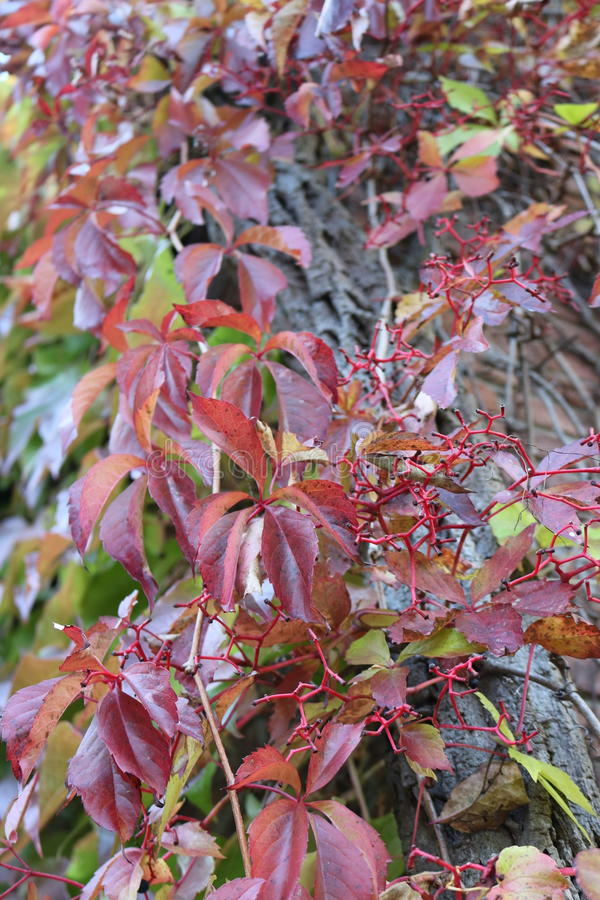 Rote Baumblätter stockbilder