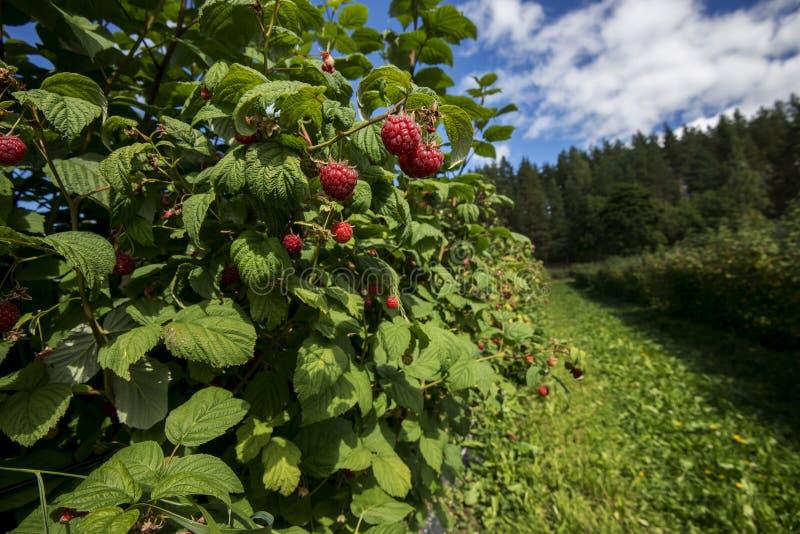 Rote Beeren stockfotografie
