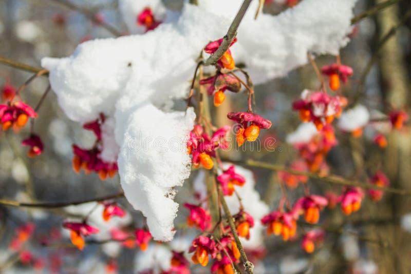 Rote Beeren auf der Niederlassung während des Sonnenuntergangs, europäische Spindel, Euonymus europaeus mit Schnee lizenzfreie stockfotos