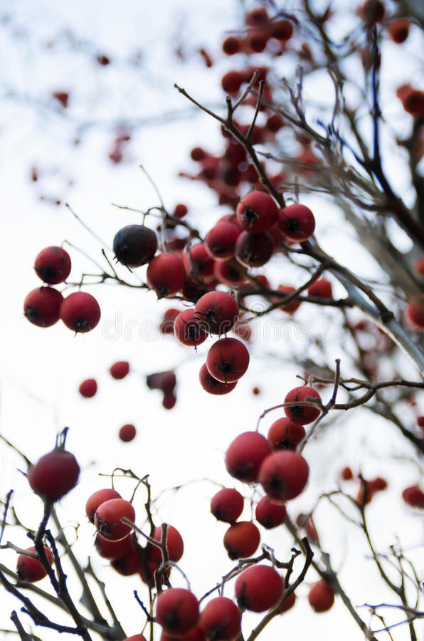 rote Beeren auf einem Baum lizenzfreie stockfotos