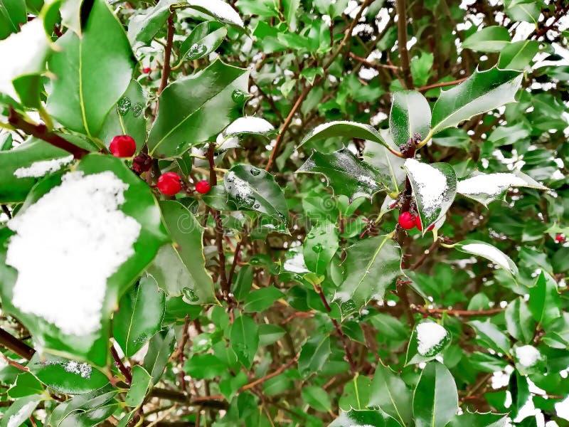 Rote Beeren auf einem grünen Baum im Schnee lizenzfreies stockfoto