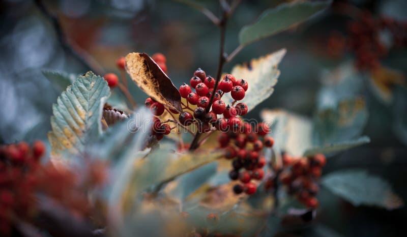 Rote Beeren auf einem kalten Hintergrund umgeben durch Blätter im Winter stockbild