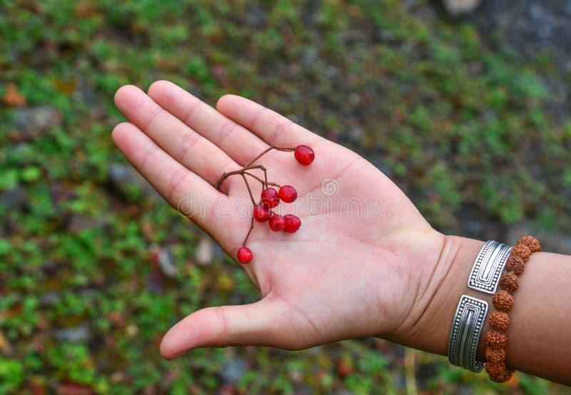 Rote Beeren auf einer Frauenhand stockfoto