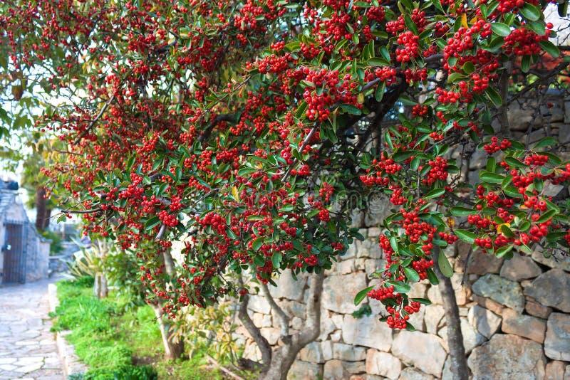 Rote Beeren der Eberesche auf grünem Baum auf der alten Steinwand stockbilder