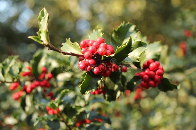 Rote Beeren der Stechpalme von der Nahaufnahme auf dem Baum gemeine Stechpalme, englische Stechpalme, Stechpalme, Weihnachtsstech stockfoto
