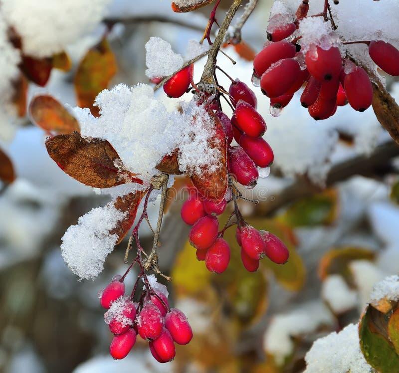 Rote Beeren des Berberitzenbeerschnees bedeckt stockfotos