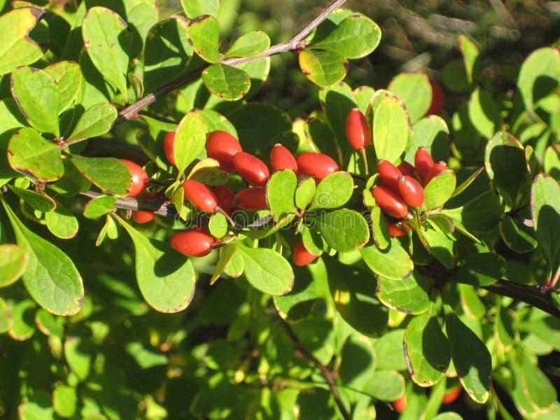 rote Beeren, die auf einem Busch der Berberitzenbeere wachsen stockfotos