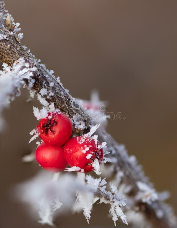 Rote Beeren mit Eisnadeln lizenzfreies stockbild