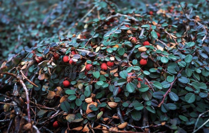 Rote Beeren von Cotoneaster stockfoto