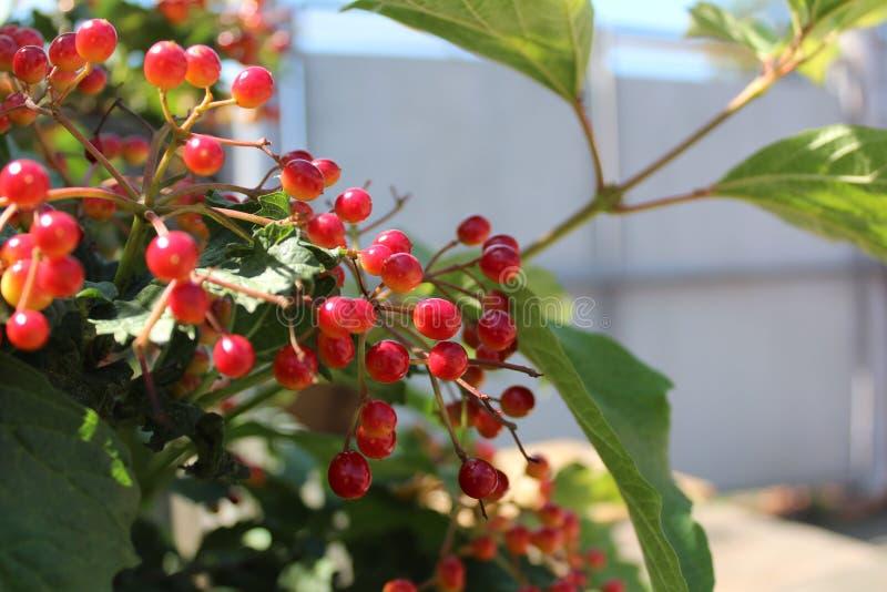 Rote Beeren von Viburnum auf einer Niederlassung stockfoto