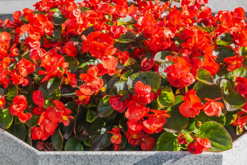 Rote Begonienblumen mit schöner grüner Blattblüte im grauen Steinvase im Sommer stockfotos