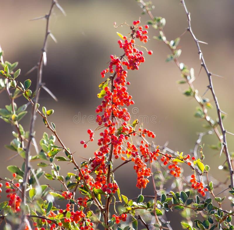 Rote Berberitzenbeere auf der Natur lizenzfreie stockfotografie