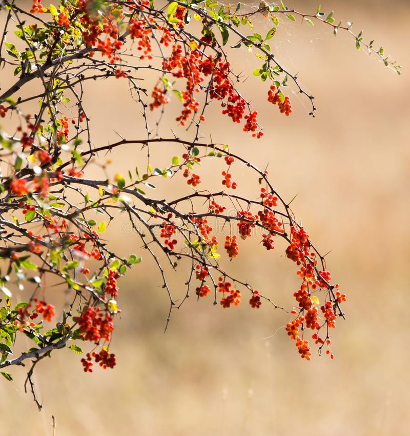 Rote Berberitzenbeere auf der Natur stockbilder