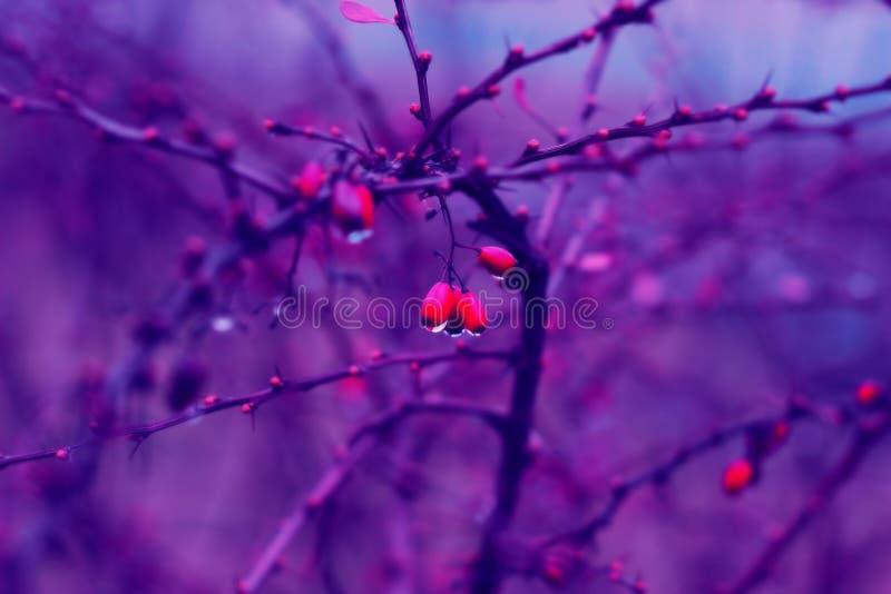 Rote Berberitzenbeere mit Regentropfen lizenzfreies stockfoto