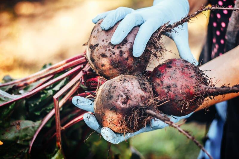 Rote-Bete-Wurzeln in den Landwirthänden in den blauen Handschuhen stockbild