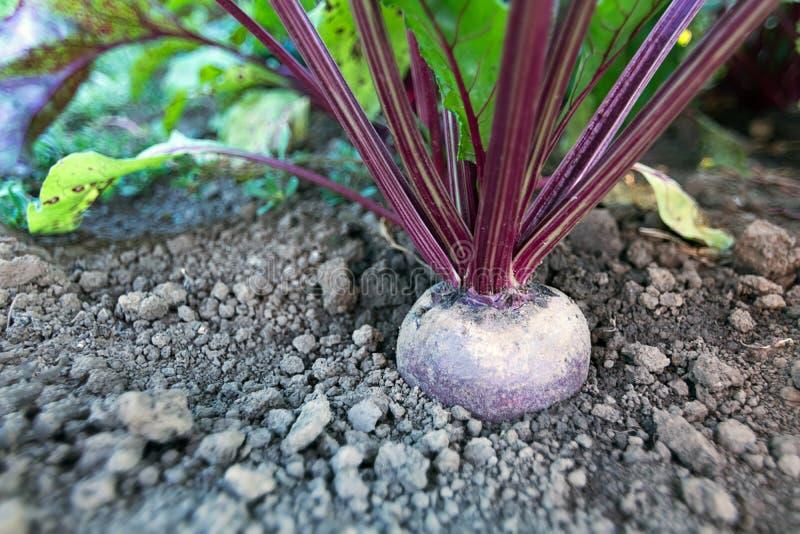 Rote-Bete-Wurzeln in einem Gemüsegarten Wachsende Rote-Bete-Wurzeln lizenzfreie stockfotos
