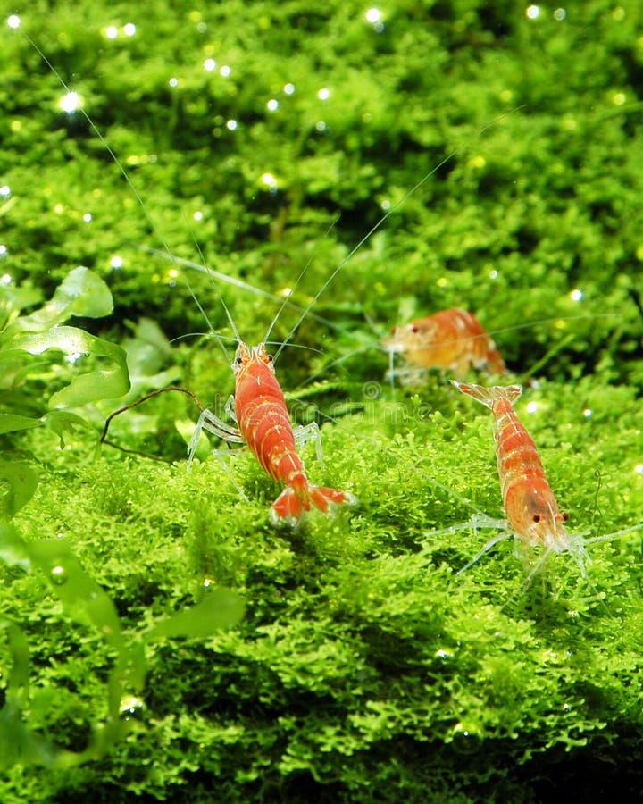 Rote Bienen-dekorative Garnele in Aquascaping stockfotografie
