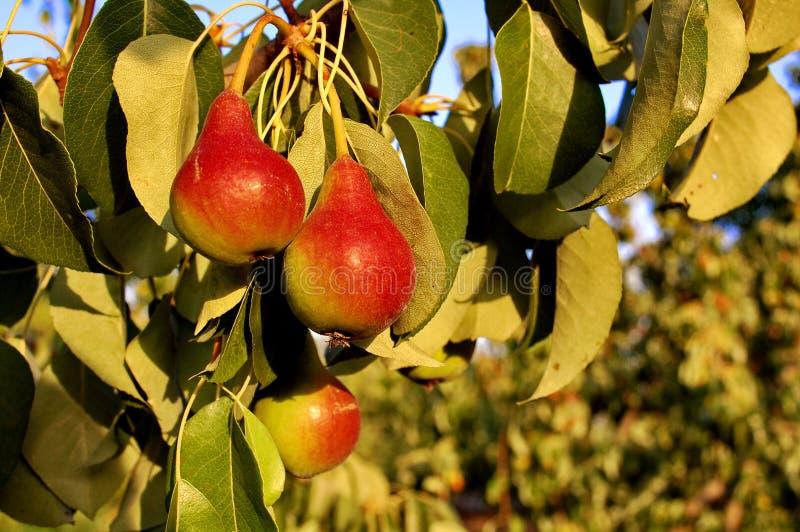 Rote Birnen auf einem Hintergrund des grünen Laubs lizenzfreie stockfotografie