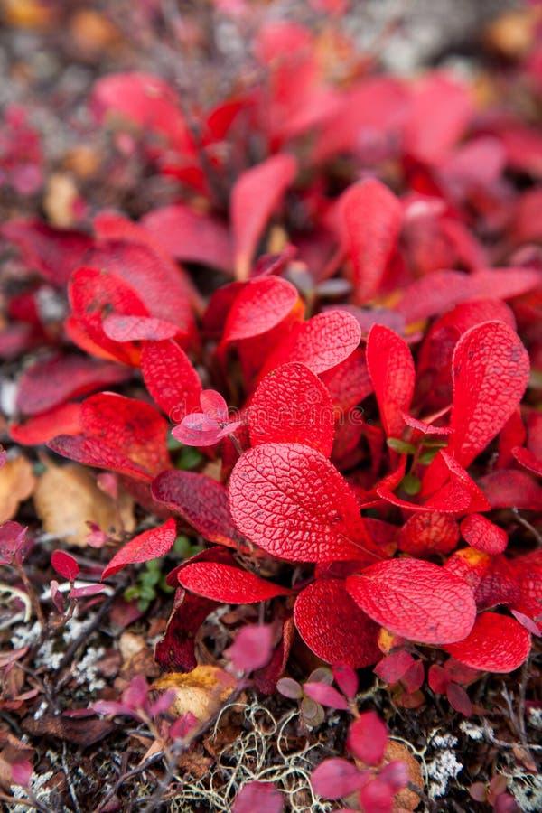 Rot-Blätter auf Tundra lizenzfreie stockbilder