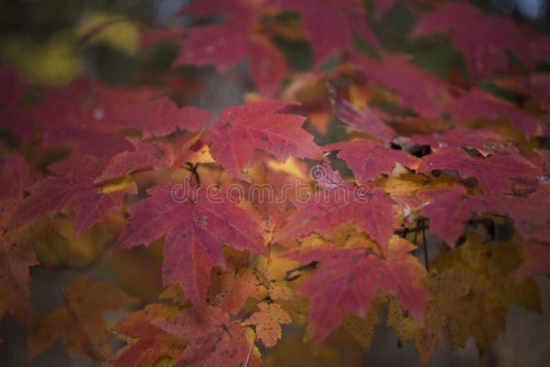 Rote Blätter der Herbstschönheit stockfotografie