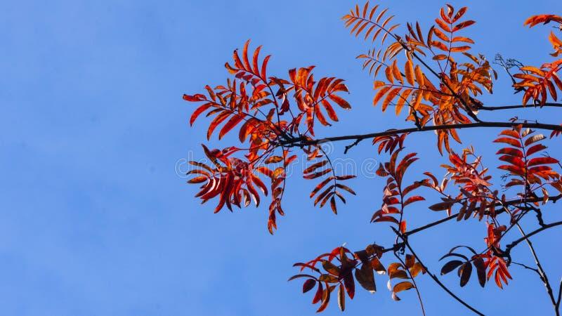 Rote Blätter des Ebereschenbaums oder des Sorbus aucuparia im Herbst gegen Sonnenlichthintergrund, selektiver Fokus, flacher DOF stockfotos