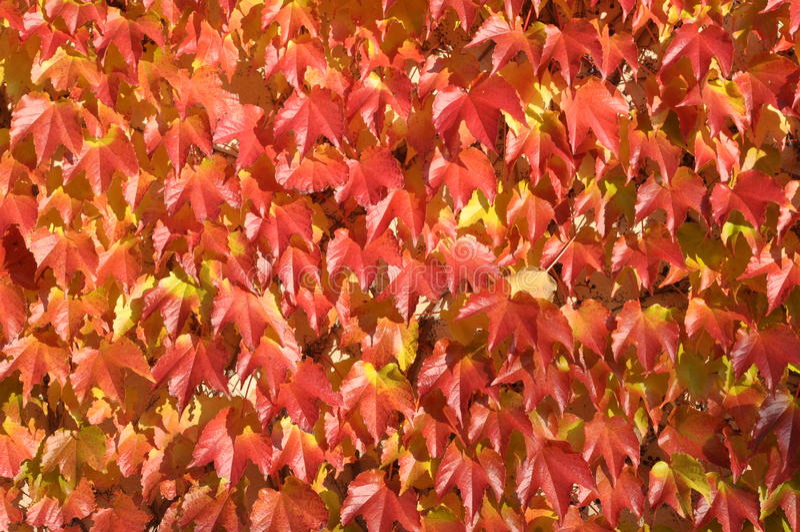 Rote Blätter des Efeus stockfoto