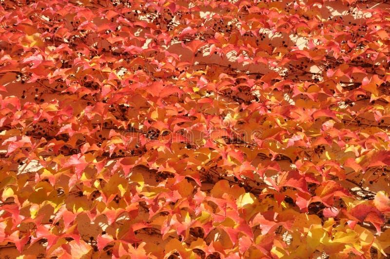 Rote Blätter des Efeus lizenzfreie stockfotografie