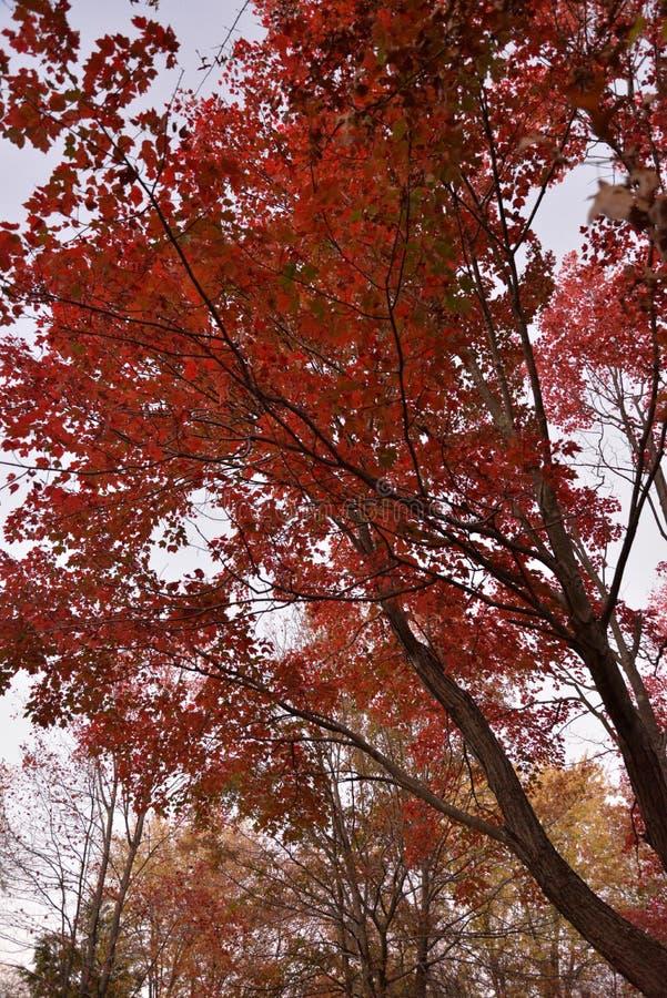 Rote Blätter hoch im Fall stockbild