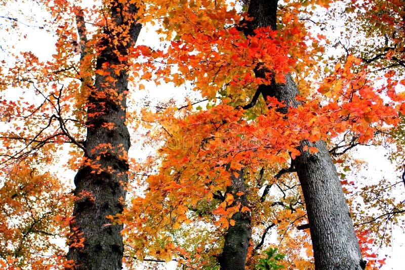 Rote Blätter im Fall sind sogar röter als Blumen im spring〠' stockfotos