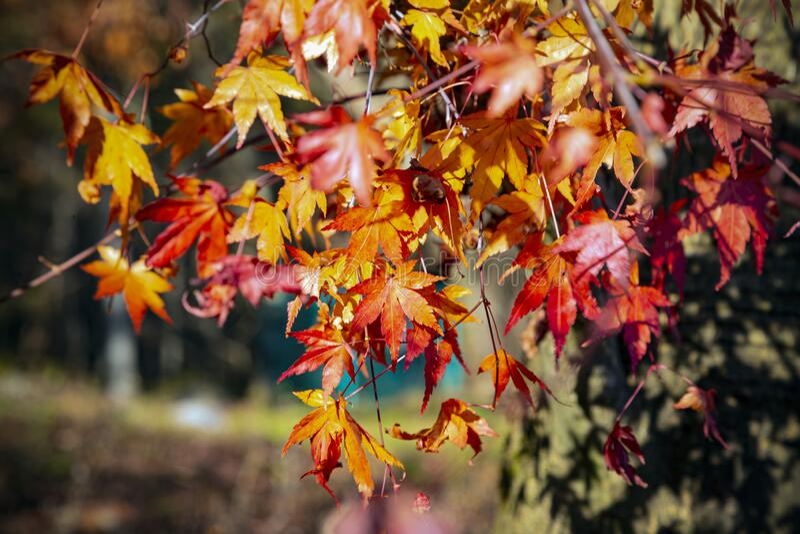 Rote Blätter am sonnigen Nachmittag stockfotos