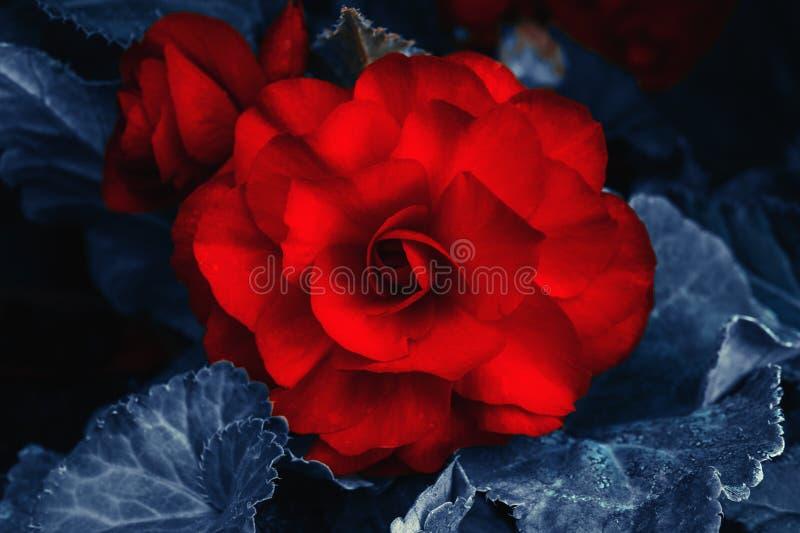 Rote blühende Blume mit dunkelblauen Blättern, abstrakter Blumenhintergrund lizenzfreies stockbild