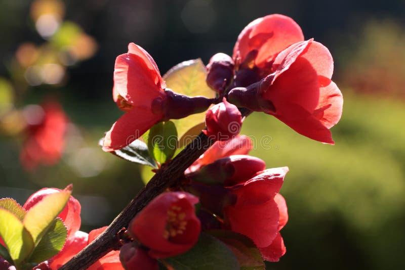 Rote Blüte lizenzfreie stockfotografie