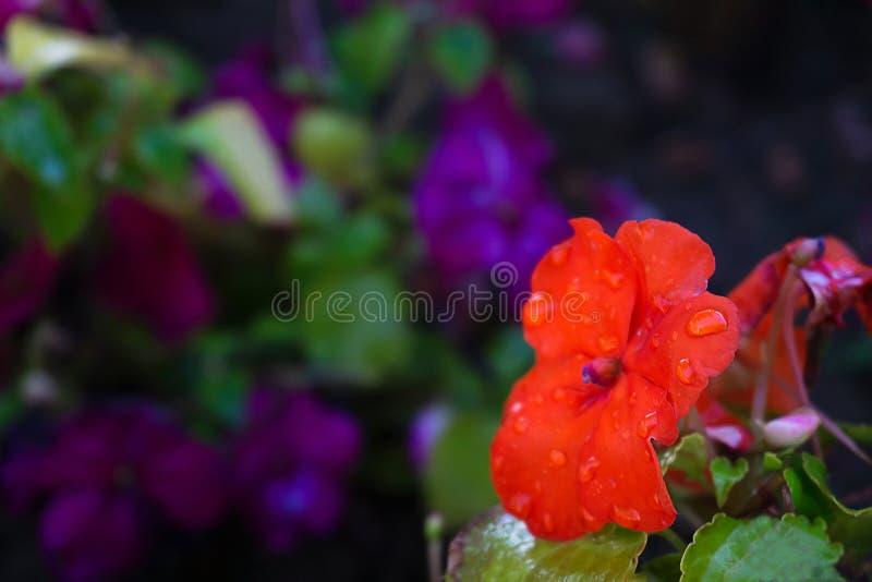 Rote Blüte mit Wassertropfen, Samen von afrikanischen Unatiens, Garden Balsam Flo stockfotos