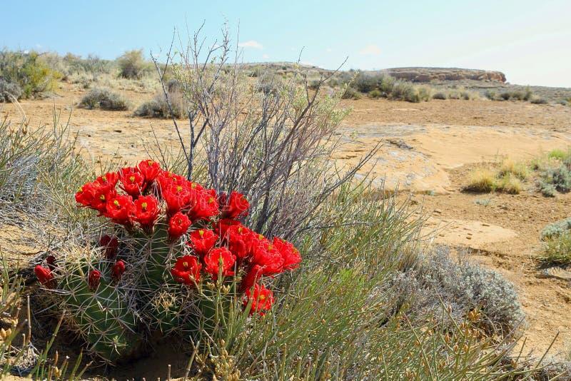 Rote Blüten auf Rotwein-Schalen-Kaktus, Echinocereus triglochidiatus, Chaco-Schlucht-nationaler historischer Park, New Mexiko stockbild