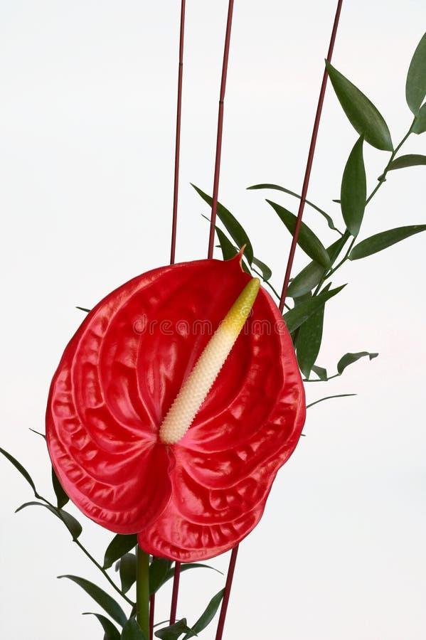 Rote Blütenschweifblume, Flamingoblume stockbild