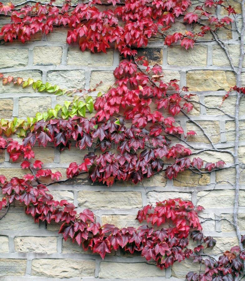Rote Blatt-Rebe auf einer Steinbacksteinmauer stockfotografie