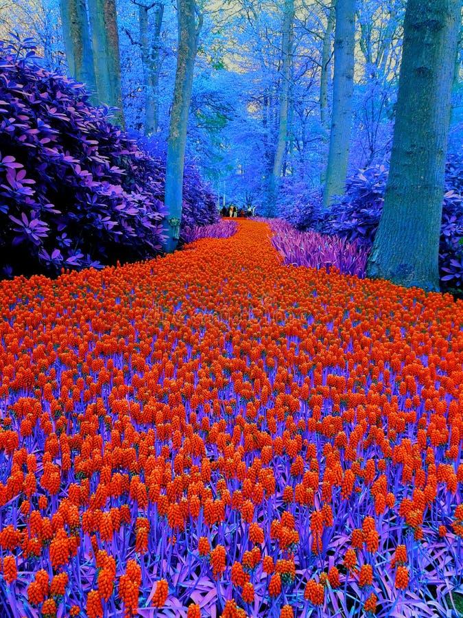 Rote/blaue wunderbare Blumenlandschaft in Keukenhof lizenzfreie stockbilder